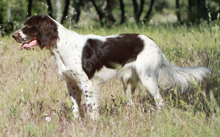 French Spaniel behavior and training