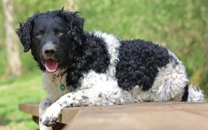 Frisian Water Dog history,behavior, and training