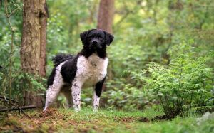 Frisian Water Dog personality and temperament