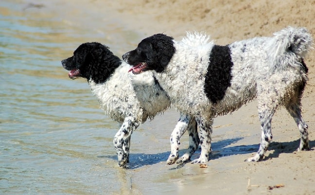 Frisian Water Dogs on the beach