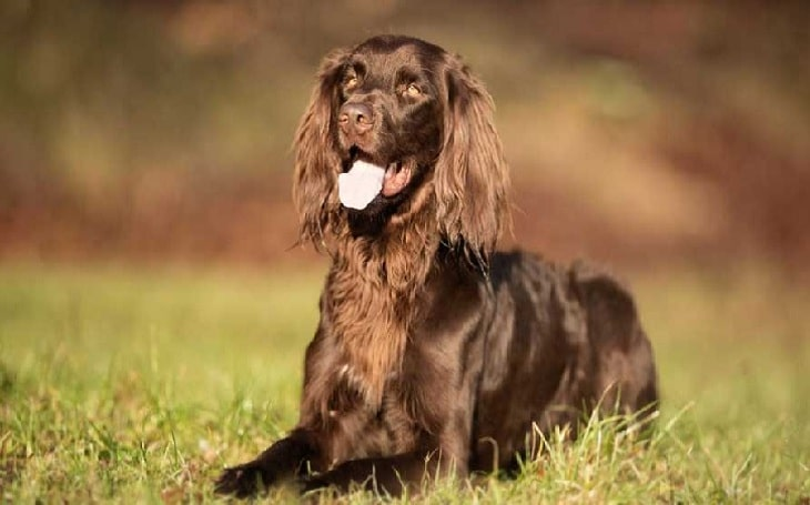 German Longhaired Pointer temperament and personality
