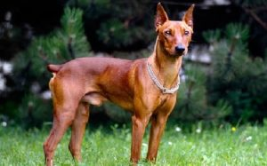 German Pinscher behavior and training
