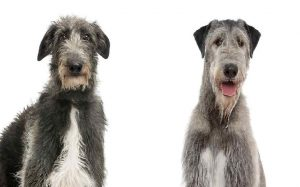 Irish Wolfhound and Scottish Grayhound similarities and differences
