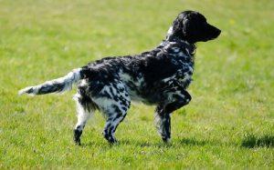 Large Munsterlander Behavior and training