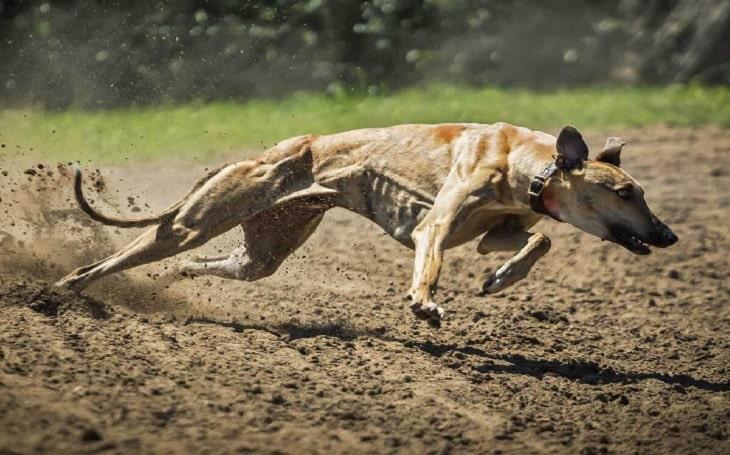 Magyar Agar behavior, training, and puppies