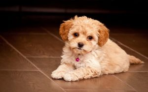 Maltipoo Behavior and personality