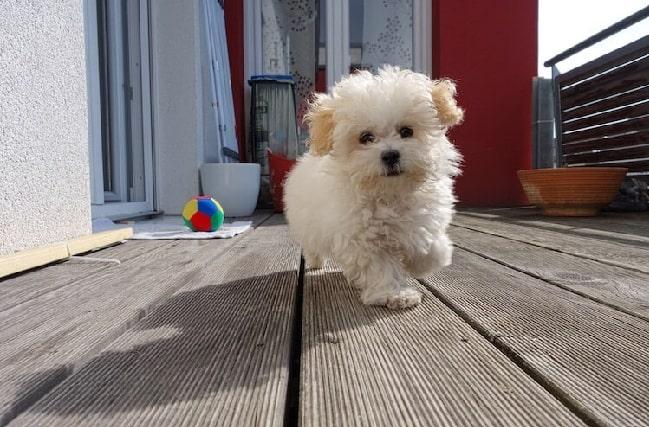 Maltipoo puppy running
