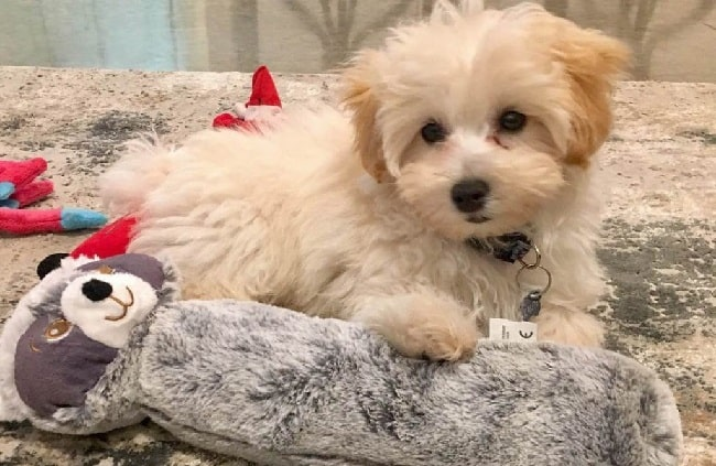 Maltipoo sitting with its toys
