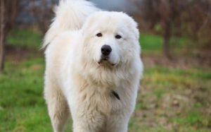 Maremma Sheepdog personality and temperament