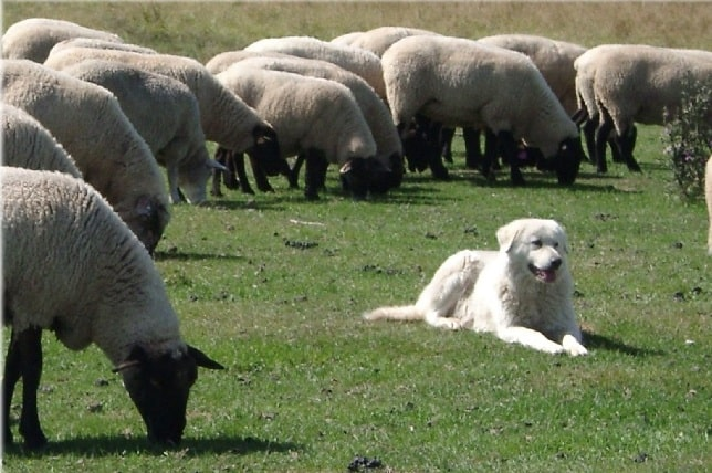 Maremma Sheepdog Behavior guarding sheep