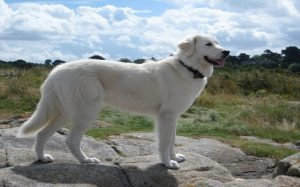 Maremma Sheepdog history, behavior, health issues