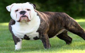 Olde Victorian Bulldogge behavior and origin
