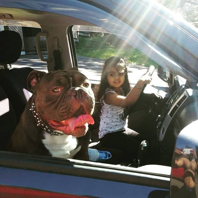 Olde Victorian Bulldogge and a girl in the car