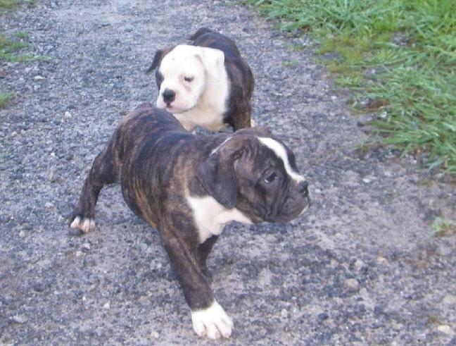 Olde Victorian Bulldogge puppiesOlde Victorian Bulldogge puppies
