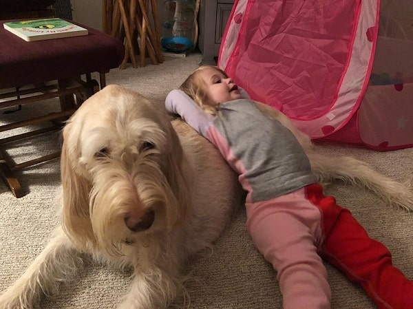 A baby playing with a Spinone Italiano