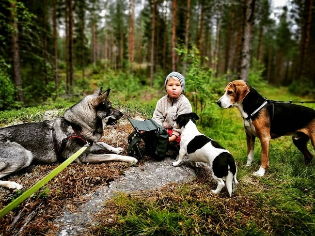 A baby surrounded by Jack Russell Terrier, hamiltonstövare, and Swedish Elkhound