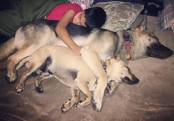 A boy cuddling with a Chihuahua Shepherd and German Shepherd