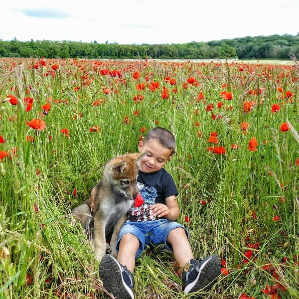 A boy playing with a wolfdog puppy