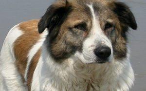 Aidi Dog history and behavior