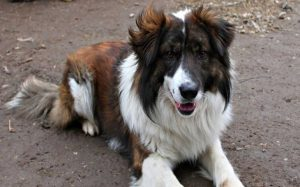 Aidi dog breeds origin and behavior
