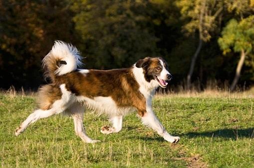 Aidi dog running on the field