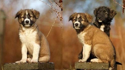 Aidi puppies