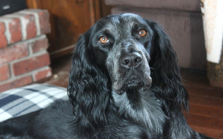 Blue Picardy Spaniel personality and temperament