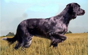 Blue Picardy Spaniel history, behavior, and training
