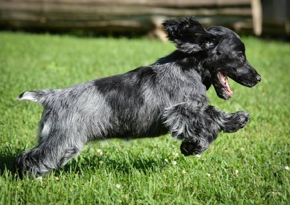 Blue Picardy Spaniel puppy running