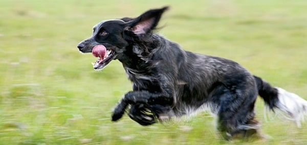 Blue Picardy Spaniel running