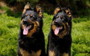 Bohemian Shepherd personality and temperament