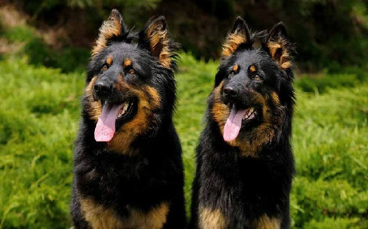 Bohemian Shepherd personality and temperament