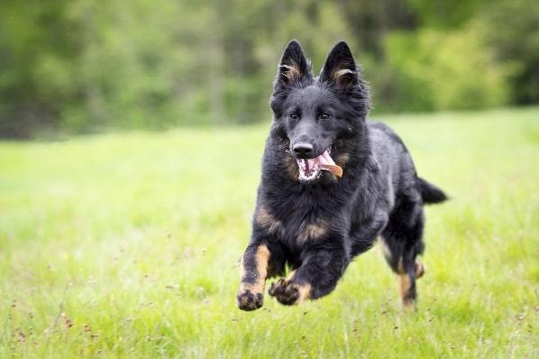 Bohemian Shepherd running on the field