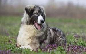 Carpathian Shepherd personality and temperament