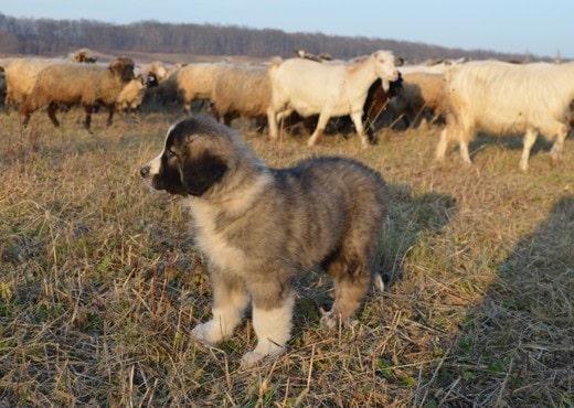 Carpathian Shepherd puppy looking after livestock