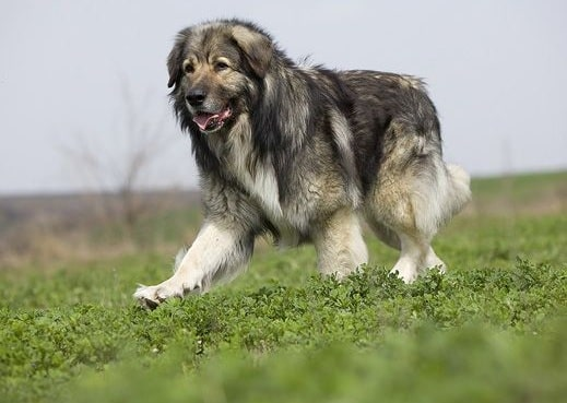 Carpathian Shepherd running on the field