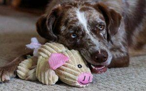Catahoula Australian Shepherd personality and temperament