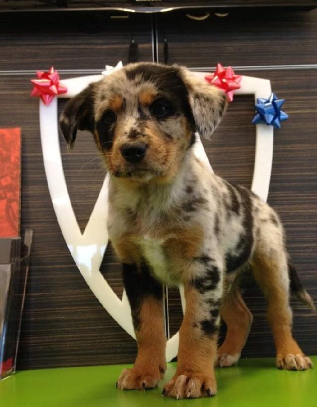 Catahoula Australian Shepherd puppy