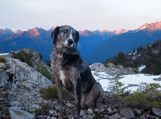 Catahoula Australian Shepherd sitting on rocks