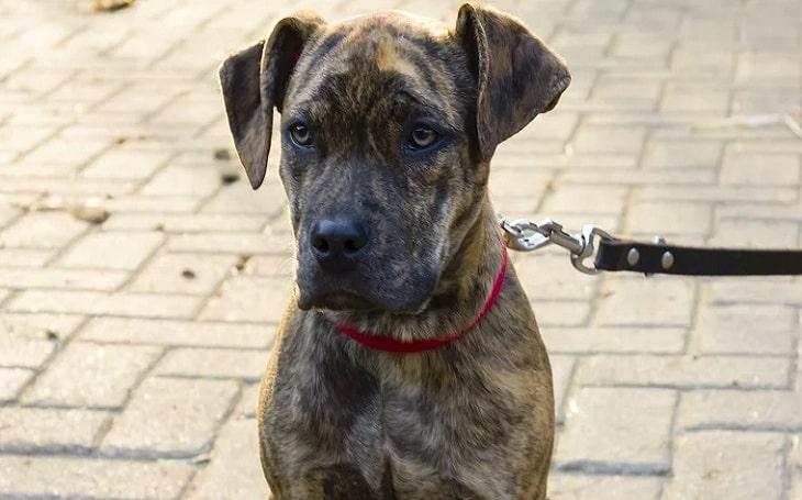 Catahoula Bulldog behavior, training