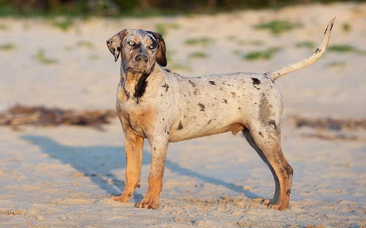 Catahoula Leopard personality and temperament