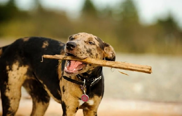 Catahoula Leopard Dog playing with a stick