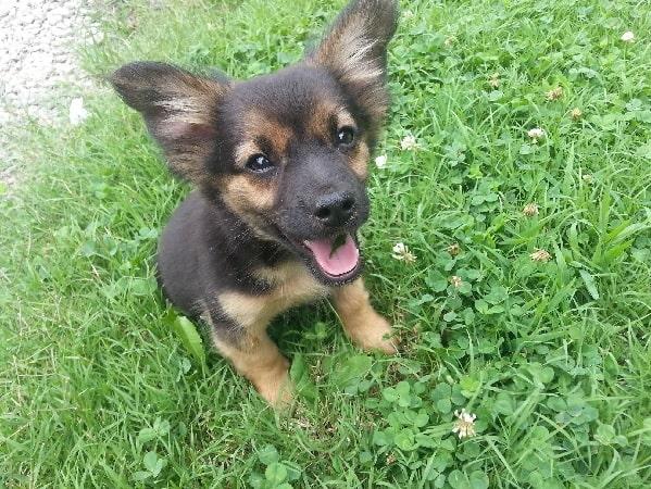 Chihuahua Shepherd Puppy