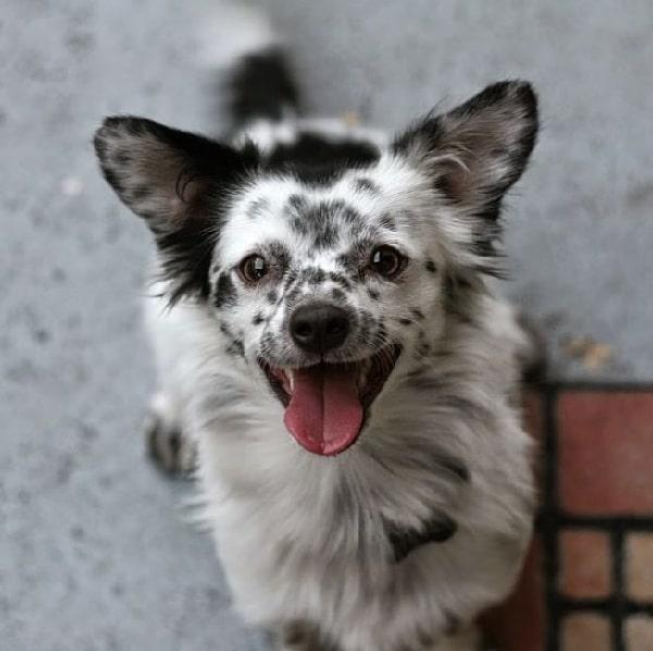 Dalcorgi Dog