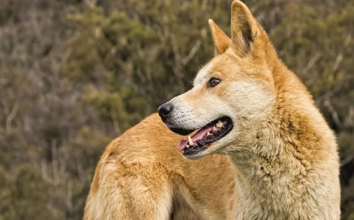 Dingo Dog Breed