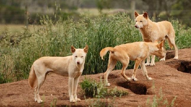 Dingo Dog pack
