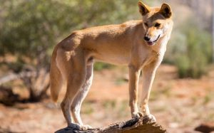 Dingo dog personality and temperament