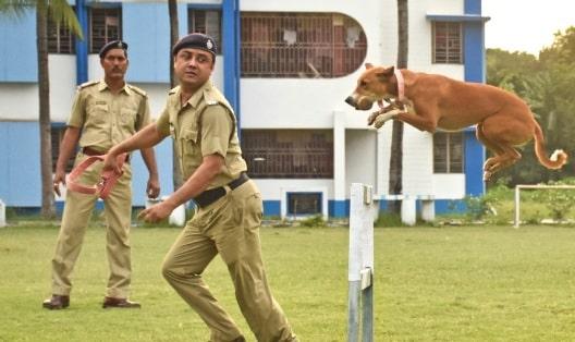 Indian Pariah agility training
