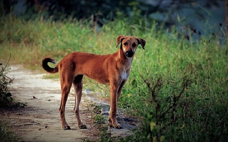 Indian Pariah dog behavior and temperament