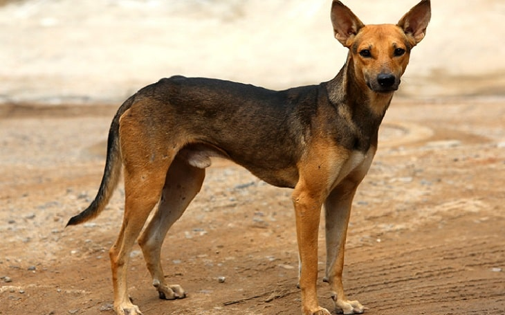 Indian Pariah dog personality, history, and temperament